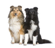 Couple of shelties Stock Image