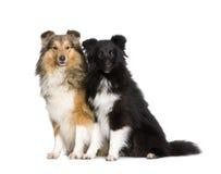 Couple of shelties Royalty Free Stock Photo