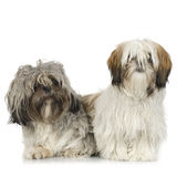 Couple of Shih Tzu Royalty Free Stock Image