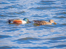 Couple of Shoveler on the blue lake Royalty Free Stock Images