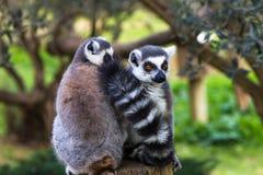 Couple shy lemurs, Ring-tailed Lemur. (Lemur-catt Royalty Free Stock Photos