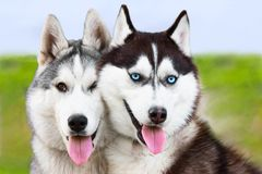 Couple of siberian husky sled dogs Royalty Free Stock Photo