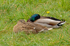 Couple of sleeping ducks. Drake and hen sleeping in the grass Stock Photography