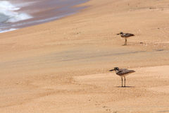 A couple of small birds on the beach Stock Photos