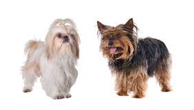 Couple of small dogs Stock Photography