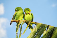 Couple of small green parrots on a palm tree branch Royalty Free Stock Photos
