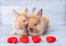 Couple small light brown bunny rabbits on gray background in valentine`s theme with mini heart in front of them royalty free stock images
