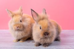 Couple small light brown cute bunny rabbits stay on gray wood table with pink background royalty free stock photography