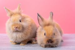 Couple small light brown cute bunny rabbits stay on gray wood table with pink background royalty free stock photos