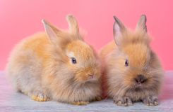 Couple small light brown cute bunny rabbits stay on gray wood table with pink background stock images