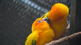 Yellow birds kissing. Couple of small parrots kissing together in a zoo birds area, male and female birds matting royalty free stock photos