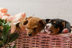 Two basenji puppies in basket with flowers. Couple of small sleepy dogs close-up at studio background. Two basenji puppies in basket with flowers Stock Images