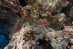 Couple of smallscale scorpionfishes in the Red Sea. Royalty Free Stock Photo