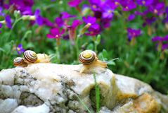 Couple of snails Stock Photo