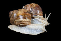 Couple of snails Stock Images