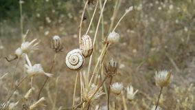 A couple of snails are sitting on a dried-up blade of grass. Background on desktop. Stock Photo
