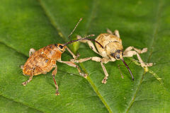 Couple of snout beetles Stock Images