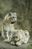 Couple of snow leopards Royalty Free Stock Photography