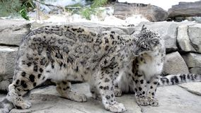 Couple snow leopards stock footage