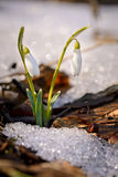 Couple of snowdrops in forest. Snowdrops growing in forest through old leaves and snow patches. Warm sunlight emphasizes the purity and tenderness of snowdrops stock photography