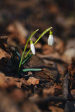 Couple of snowdrops in forest. Two snowdrops growing in forest through rusty old leaves. White and green colors in contrast with brown dark colors of leaves royalty free stock photography
