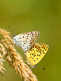 Couple of Sooty copper Mating. Mating Pair of Sooty Copper Butterfly (Lycaena tityrus Stock Photo