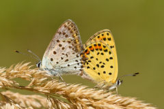 Couple of Sooty copper Mating. Mating Pair of Sooty Copper Butterfly (Lycaena tityrus Royalty Free Stock Image