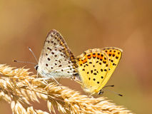 Couple of Sooty copper Mating. Mating Pair of Sooty Copper Butterfly (Lycaena tityrus Royalty Free Stock Photos