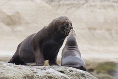 Couple of South American Sea Lions. Couple of sout american sea lions in Peninsula Valdez, Patagonia, Argentina Stock Photo