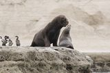 Couple of South American Sea Lions. Couple of sout american sea lions in Peninsula Valdez, Patagonia, Argentina Royalty Free Stock Photography