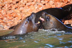 Couple of South American sea lions playing in the water in Balle Royalty Free Stock Images