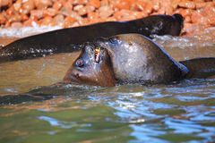 Couple of South American sea lions playing in the water in Balle Royalty Free Stock Image