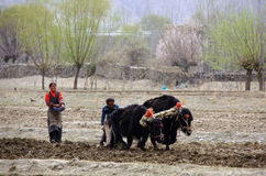 The couple are sowing in the field of  Tibet Royalty Free Stock Photography
