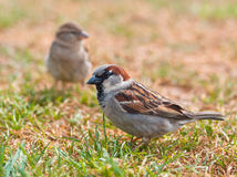 Couple of sparrow. Couple of house sparrow (Passer domesticus) in a field of grass during a sunny summer day stock image