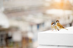 Couple of sparrows. Little bird on a white wall Royalty Free Stock Photos