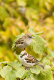A couple of sparrows sitting on a branch wondering Royalty Free Stock Photography