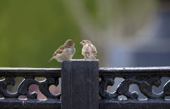 Couple of sparrows. Royalty Free Stock Photography