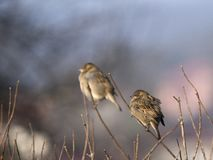 Couple of sparrows Stock Photography
