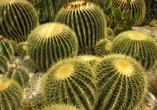 Couple of the Spherical cactus. Cactus in desert, spherical shape. Nature green background or wallpaper royalty free stock photography
