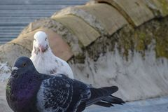 Couple of sports pigeons stock photos
