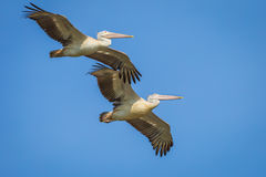 Couple of Spot-billed pelican Stock Images