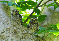 Couple of Spotted owlet Royalty Free Stock Photography