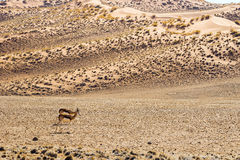 A couple of springbok antelopes in red Sossusvlei dunes. Royalty Free Stock Photography