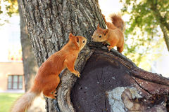 Couple of Squirrel. On a park tree Stock Image