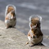 Couple of squirrels. Couple of Hungry squirrels in london/uk stock photos