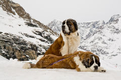 Couple of St. Bernardine dogs in Swiss Alps. Lifesaver St. Bernardine dogs in Swiss Alps. Matterhorn in the background. Swiss landmark Stock Photos