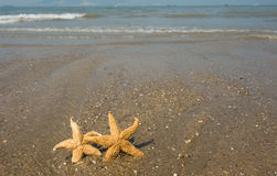Couple of starfish Stock Photography