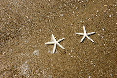 Couple of starfish Royalty Free Stock Image