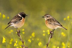 Couple of stonechats in the nature stock photos
