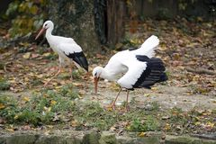 Couple stork Royalty Free Stock Images